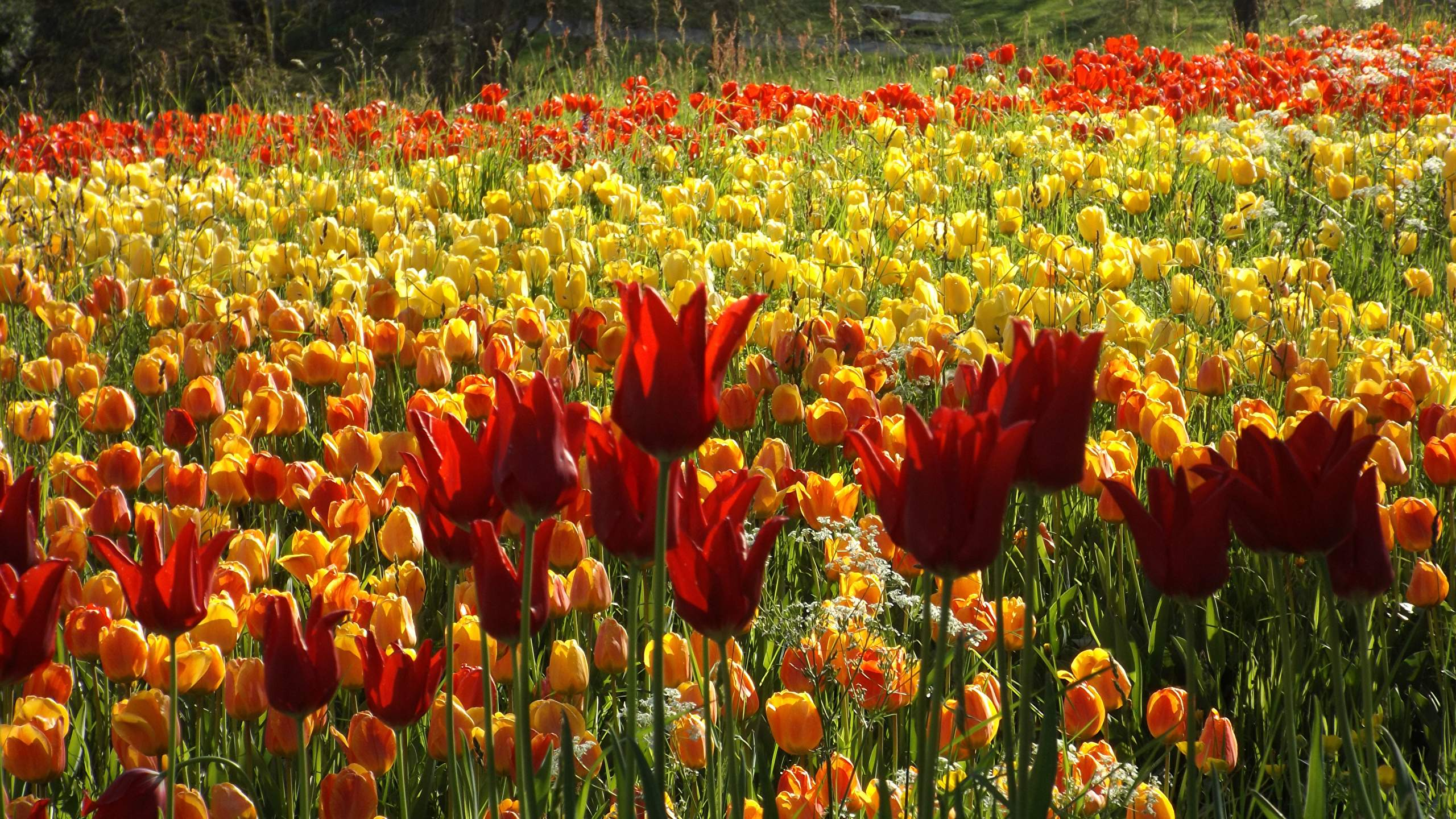 Germany Gardens Tulips Many Mainau 2560x1440