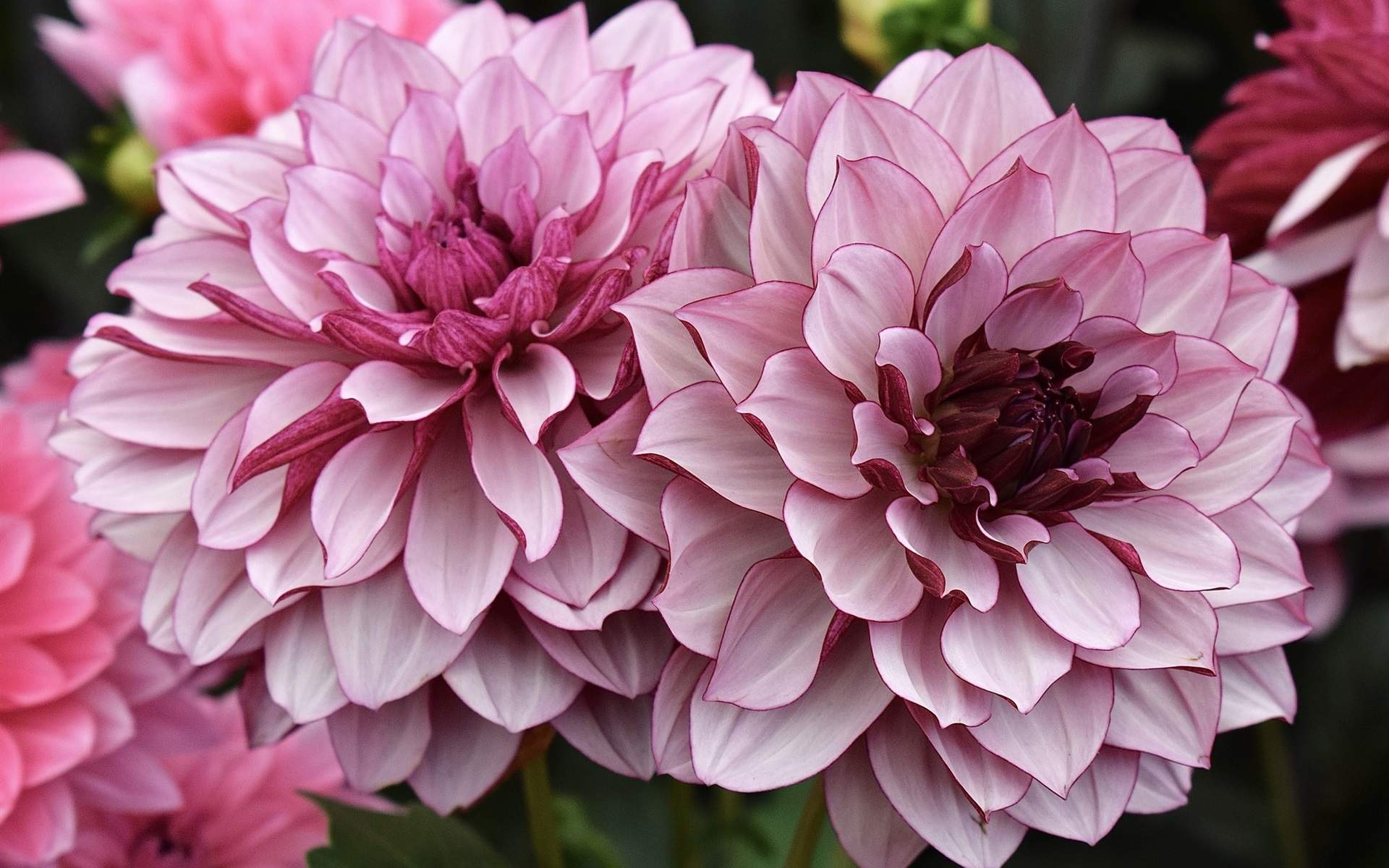 Pink dahlia flowers garden wallpapers