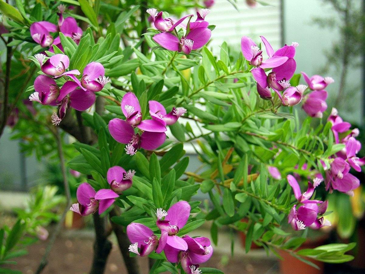 Botanischer Garten Bonn Reizend File Polygala Myrtifolia Flowers Botanischer Garten Bonn
