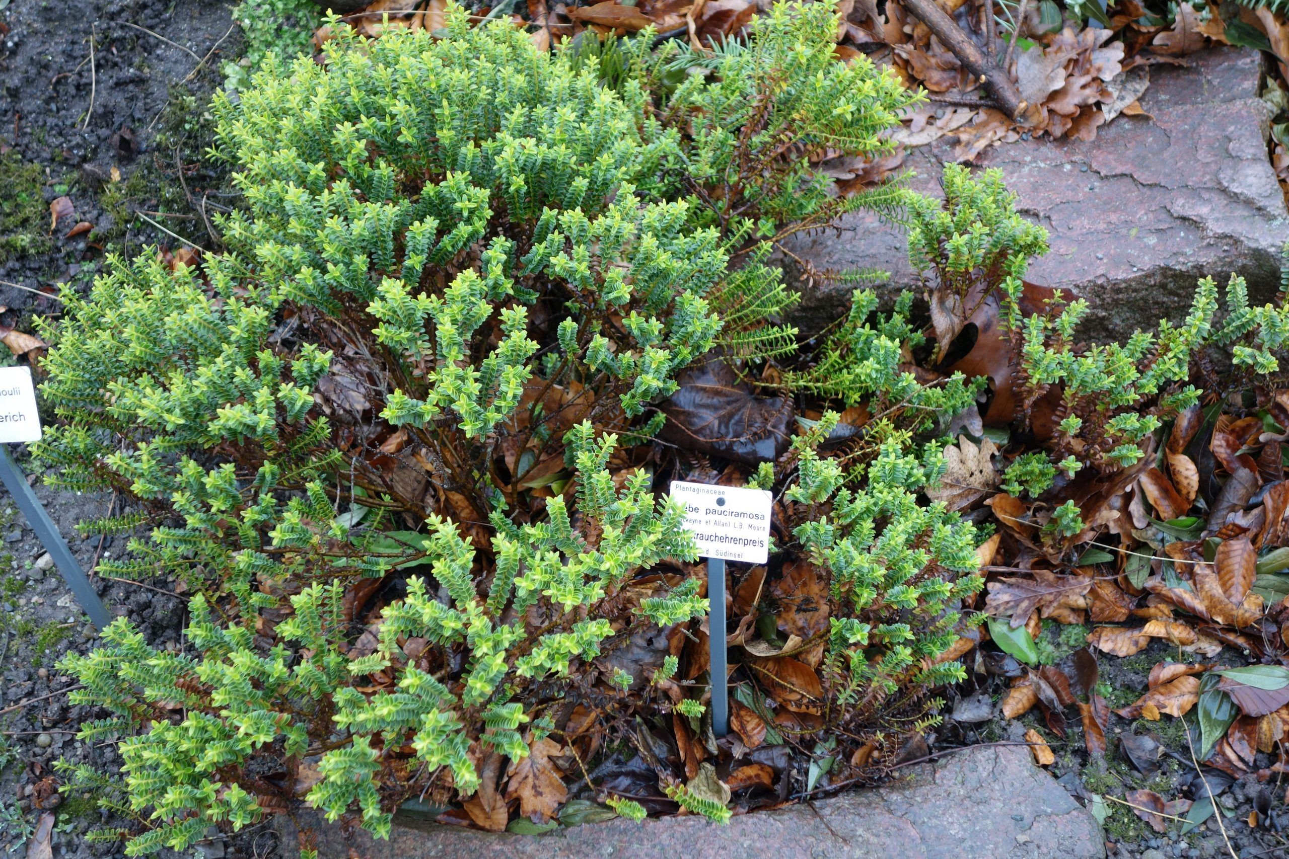 Botanischer Garten Dresden Elegant File Hebe Pauciramosa Botanischer Garten Dresden Germany