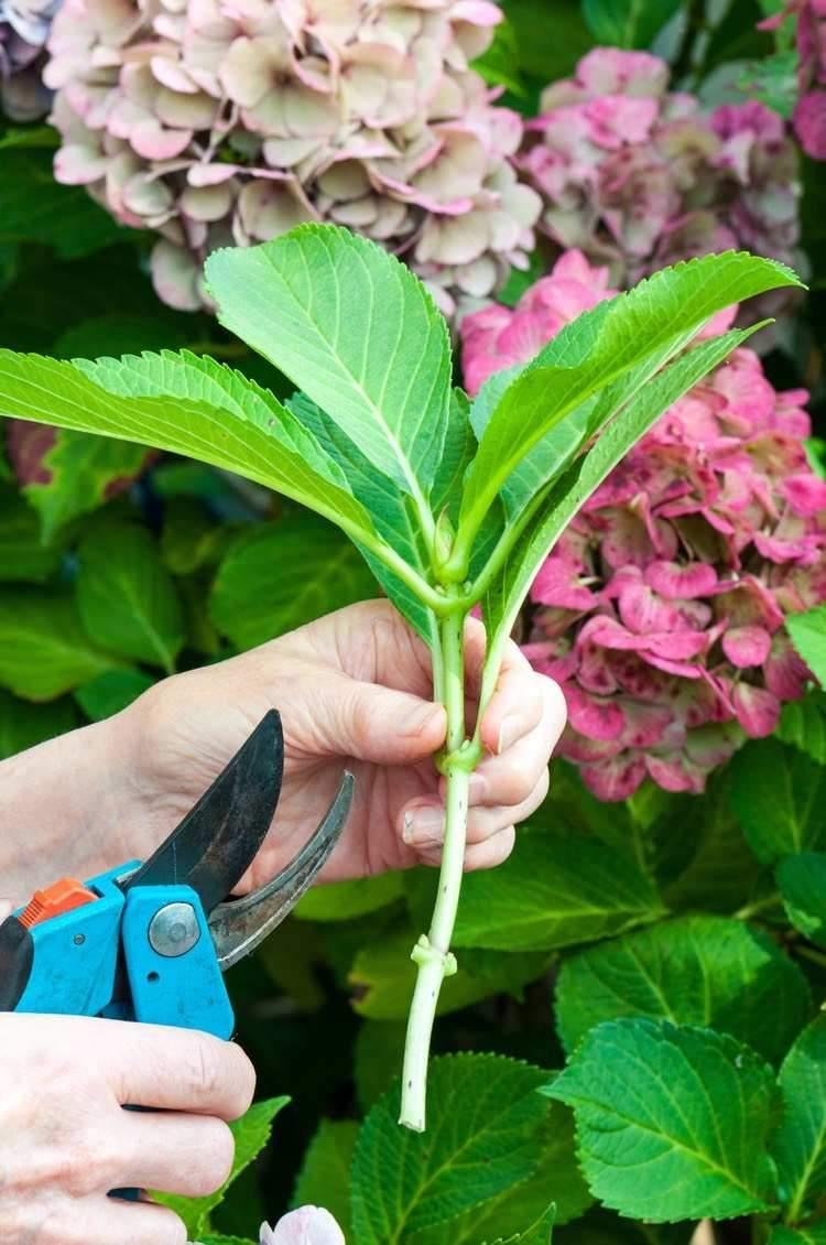 pflanzen günstig setzlinge hortensien vermehren