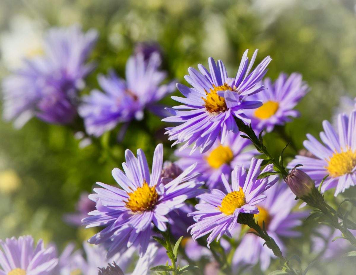 asters 1920