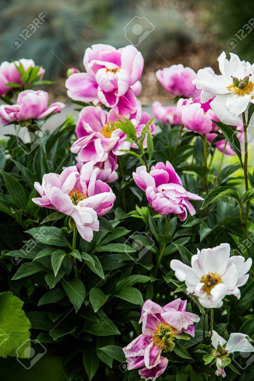 photo beautiful pink and white blooms in garden
