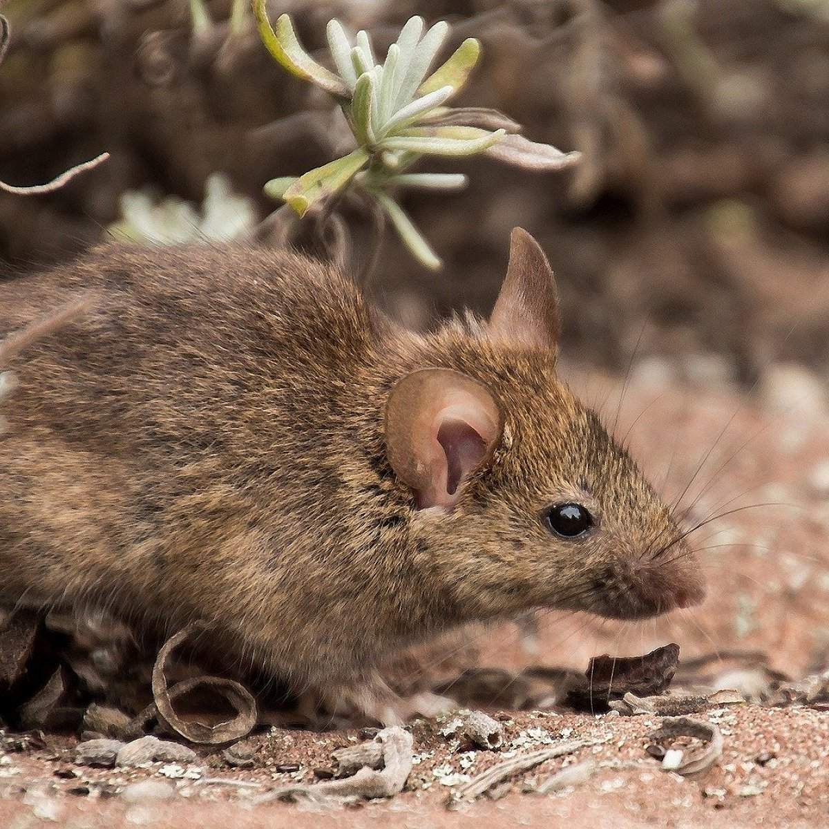1507 field mouse 1920