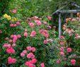 Mein Schöner Garten forum Genial Die Rose Mein Schöner Garten Foto & Bild