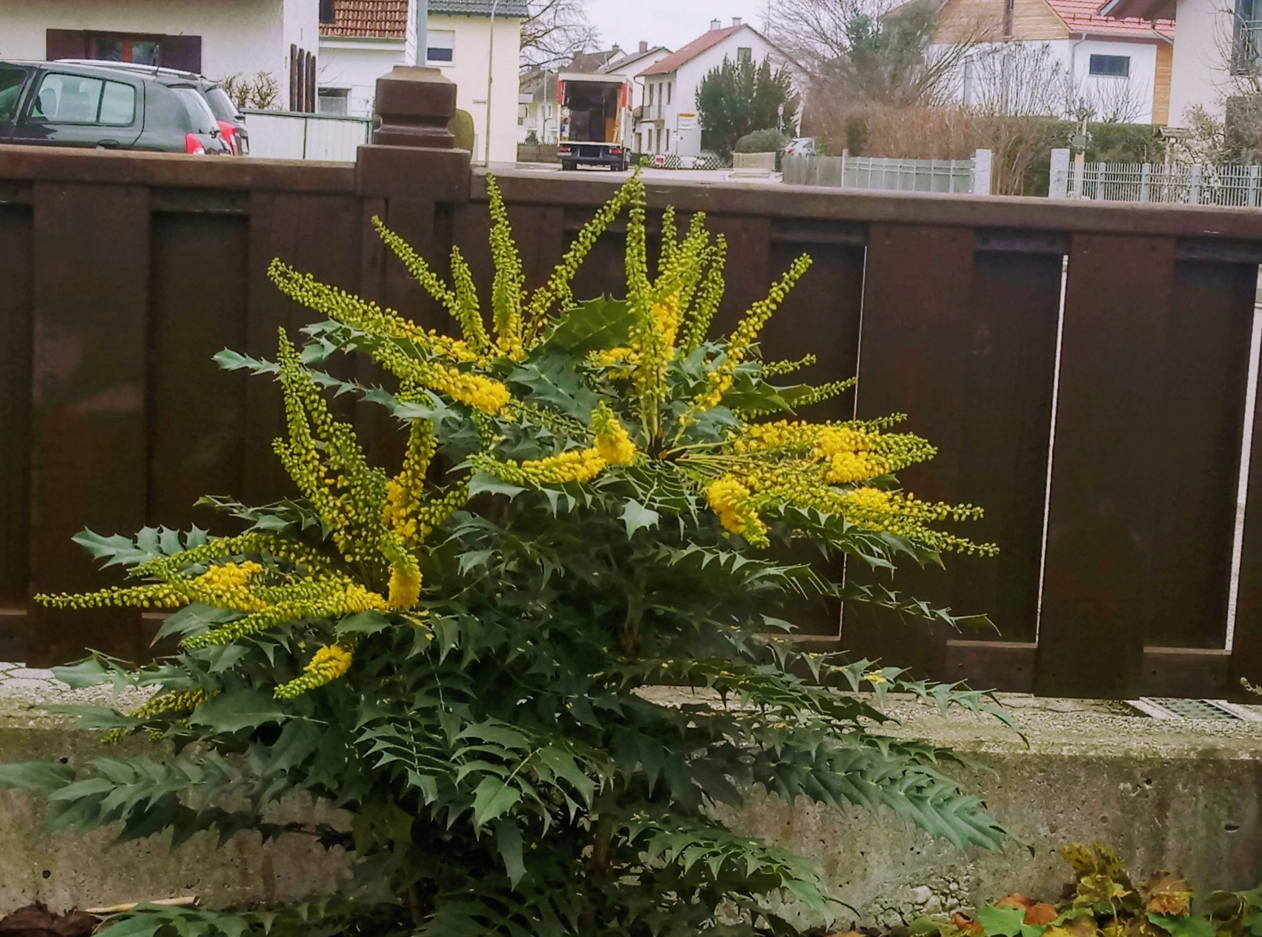Mein Schöner Garten forum Genial Mahonie Wie Hoch Und Breit Wird Sie