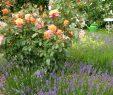 Mein Schöner Garten forum Neu Freisinger Morgenröte