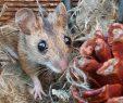 Ratten Im Garten Das Beste Von Bald Kommt Der Herbst 🐭🍁🍂🎃 Maus Ratten Ratte
