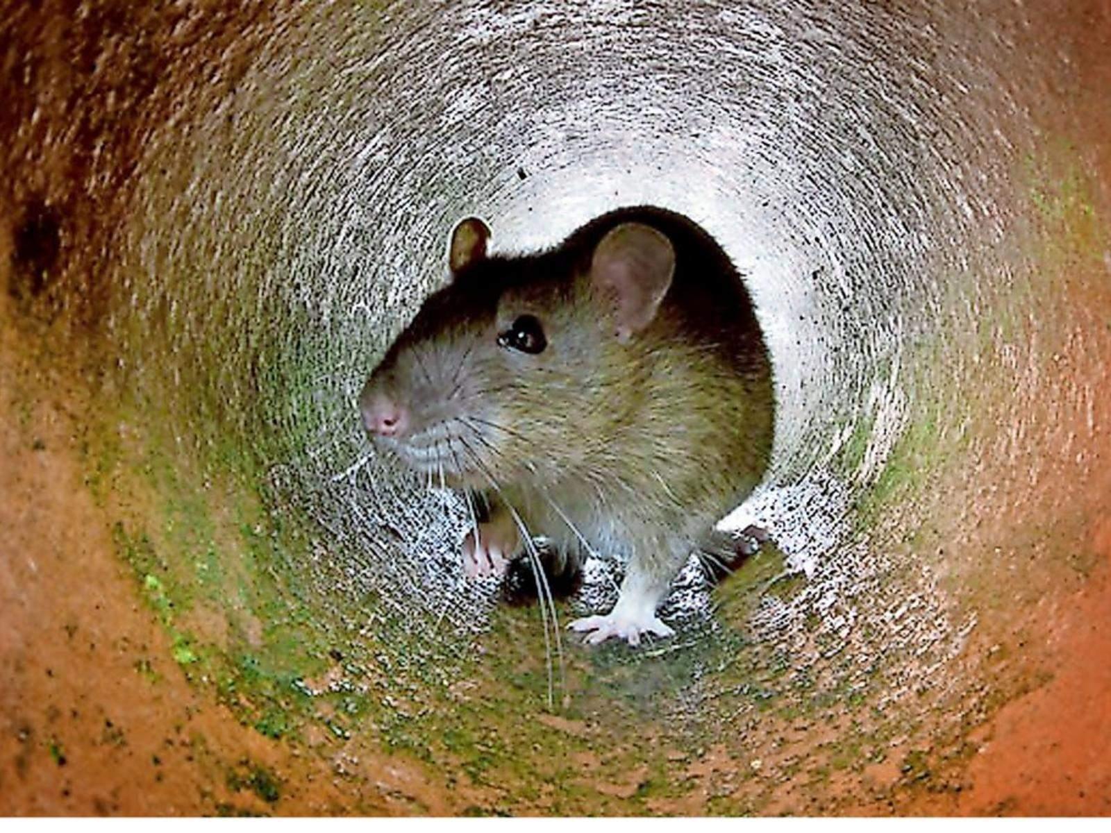 Ratten Im Garten Das Beste Von Burgdorf Rattenplage Beunruhigt Ehlershäuser Ehepaar