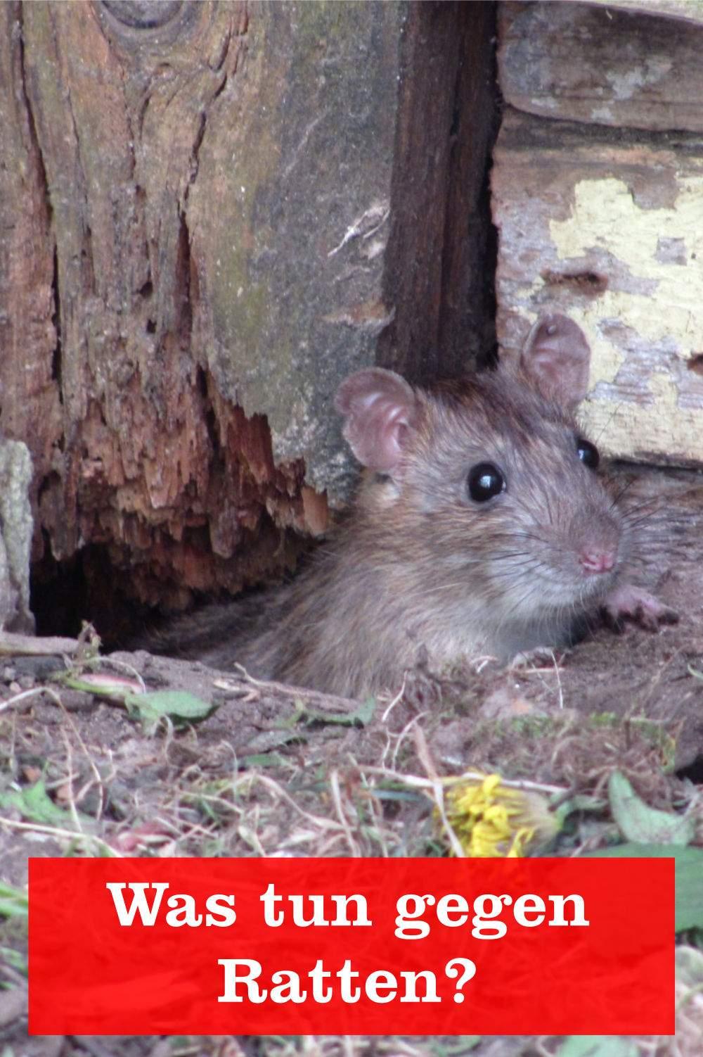 Ratten Im Garten Das Beste Von Was Kann Man Gegen Ratten Tun Gartenbob Der Garten
