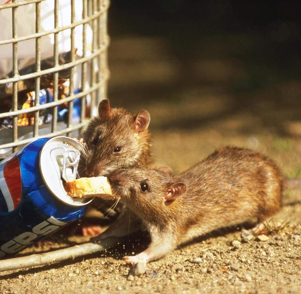 Ratten Im Garten Einzigartig Gesundheit Ratten übertragen Womöglich Multiresistente