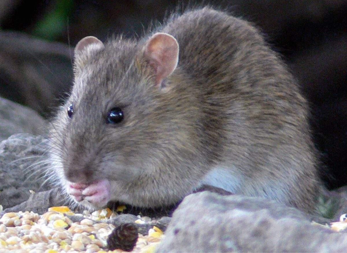 Ratten Im Garten Elegant Für Den Kammerjäger ist Chemie Nicht Immer Das Mittel Der Wahl
