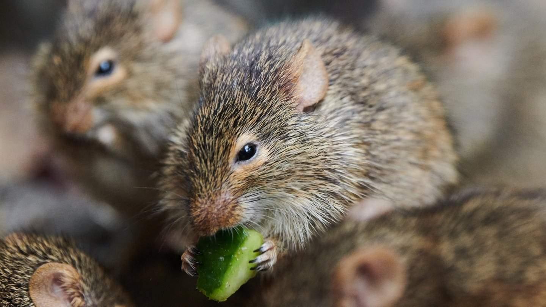 Verhaltensforschung Ratten koennen das Versteckspiel av o 100