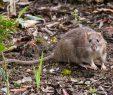 Ratten Im Garten Elegant Ratten Vertreiben so Werden Sie Lästigen Schädlinge Los