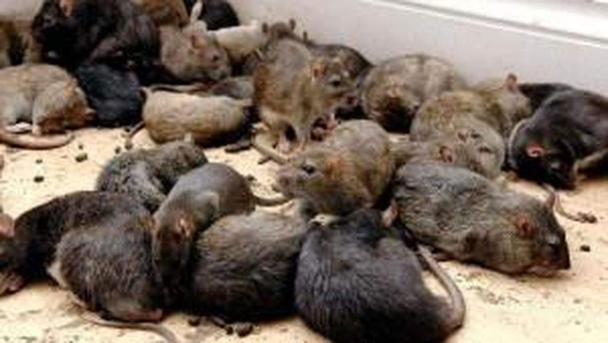 Ratten Im Garten Elegant Rattenbekämpfung so Werden Sie Nager Los