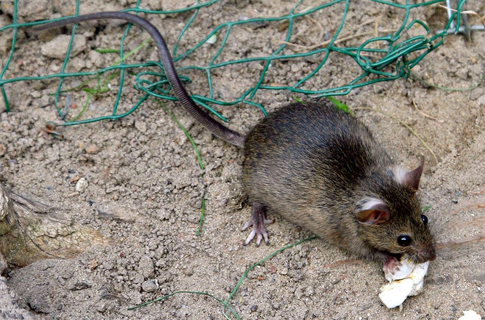 Ratten Im Garten Frisch In Krefeld Leben Bis Zu Eine Million Ratten
