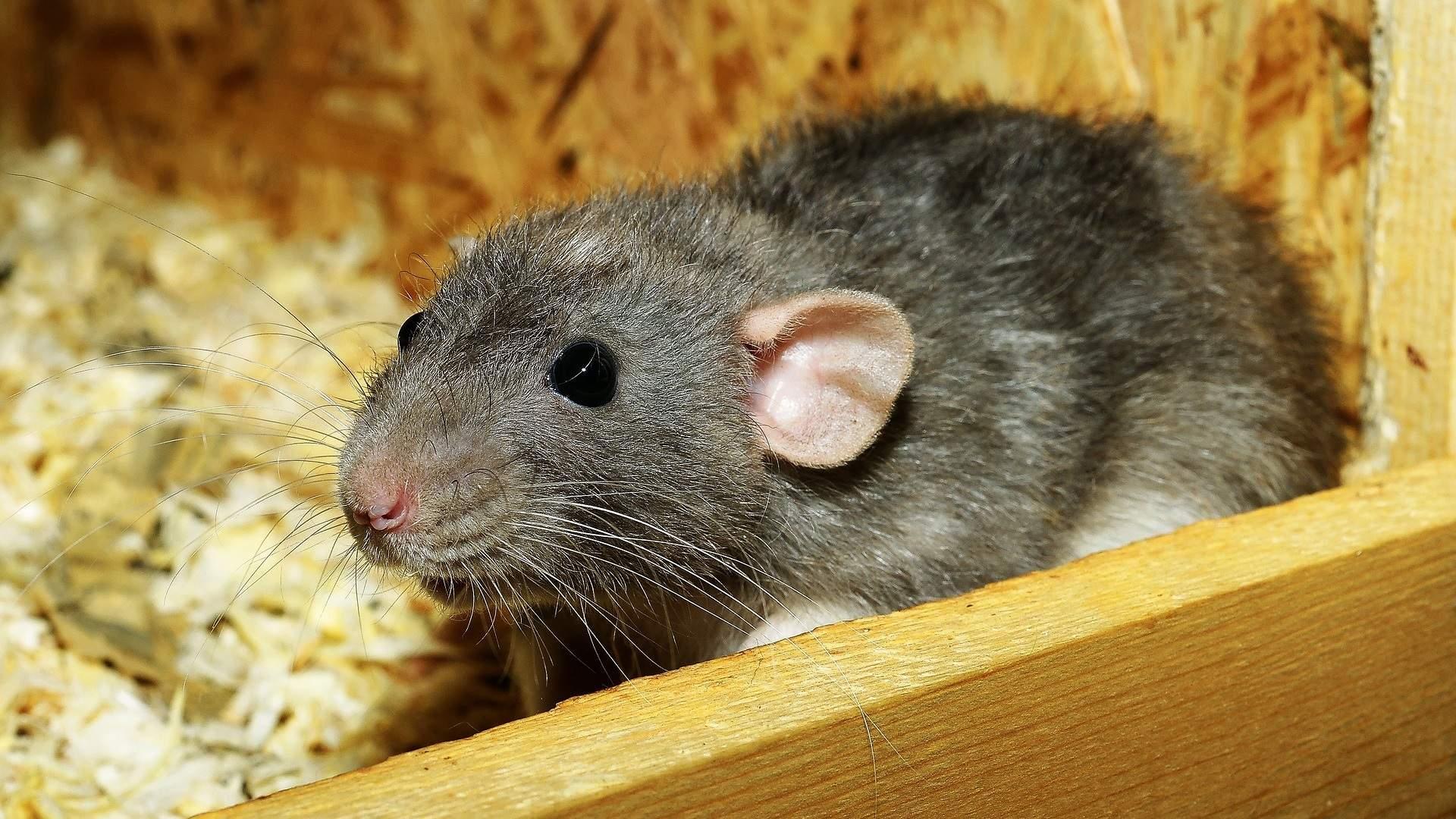 Ratten Im Garten Frisch Ratte Als Haustier Halten Das sollten Sie Beachten