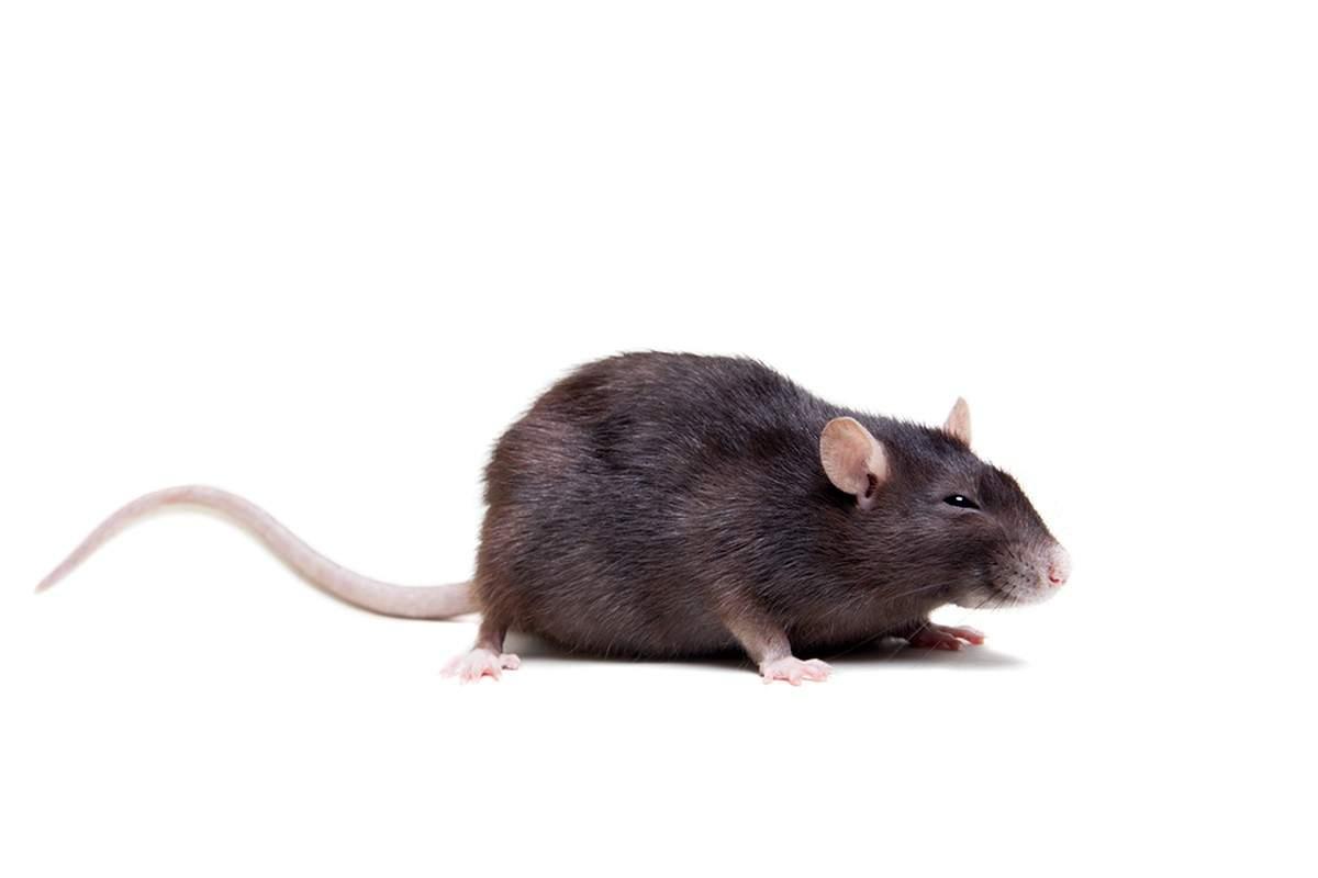 praxistipps s3azonaws ratten im garten bekaempfen 5c74e795