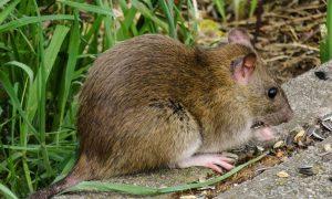56 Luxus Ratten Im Garten Schön