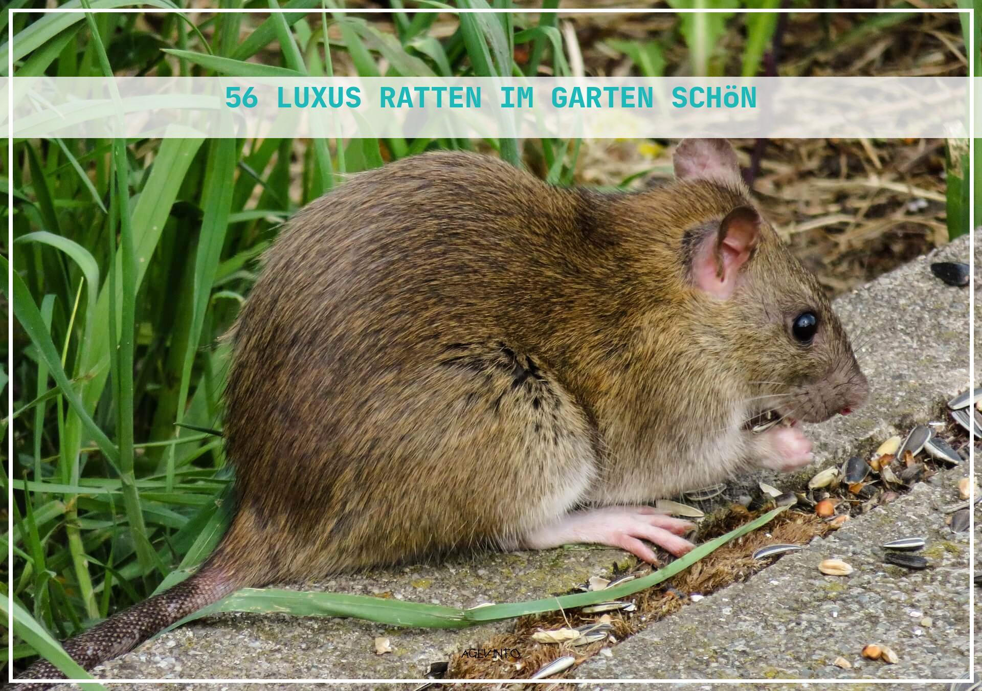 Ratten Im Garten Frisch Ratten Im Garten Erkennen Und Bekämpfen