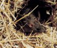 Ratten Im Garten Frisch Ratten Im Garten Oder Haus Ratgeber Wildtiere