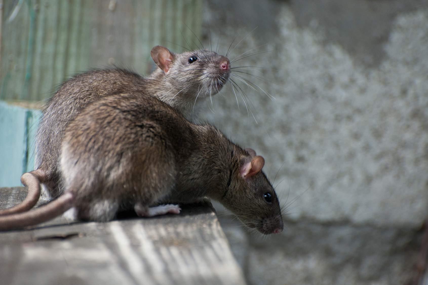 Ratten Im Garten Frisch Ratten Und Mäuse Te Sicher & Rechtskonform Einsetzen