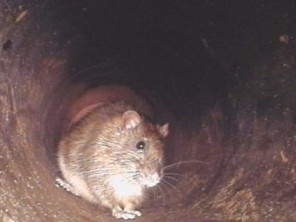 Ratten Im Garten Frisch Schadnager Und Der Reich Gedeckte Herbsttisch – Gütersloh
