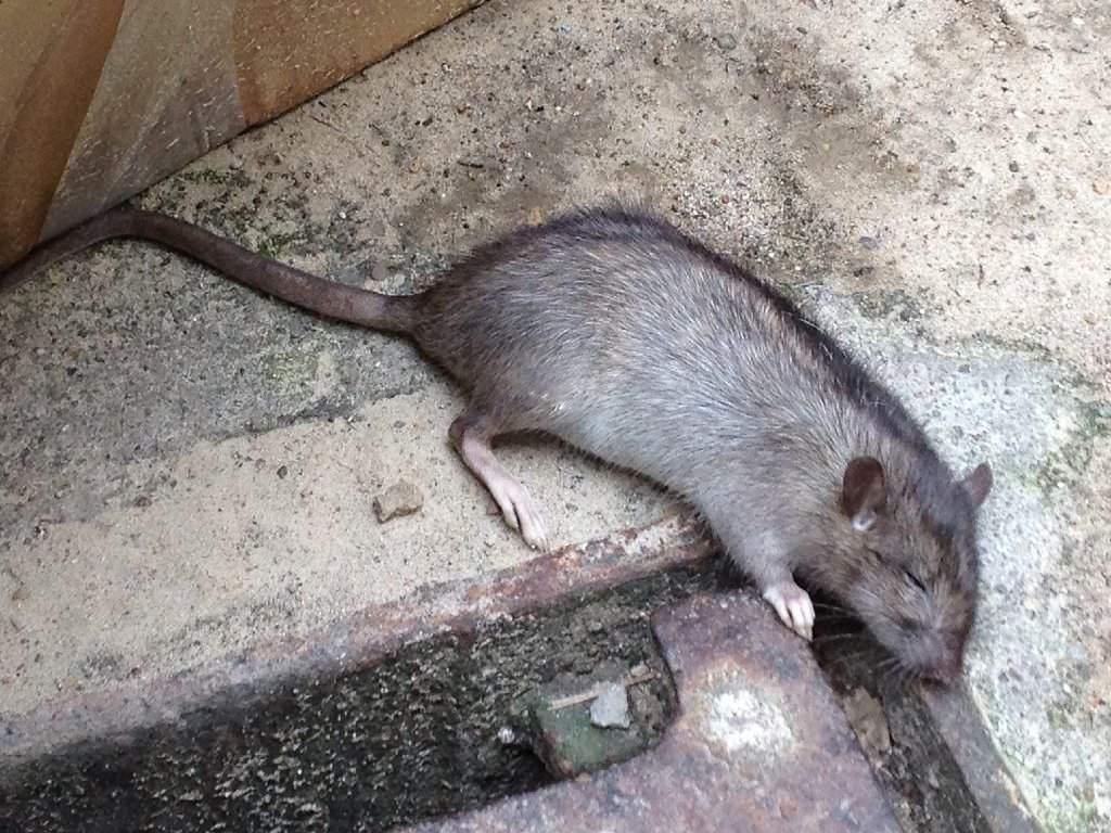 inhaltndau immer mehr ratten in landau stadt keine plage f2c8c616 765f 4e69 a68c 2e2c6cfde681