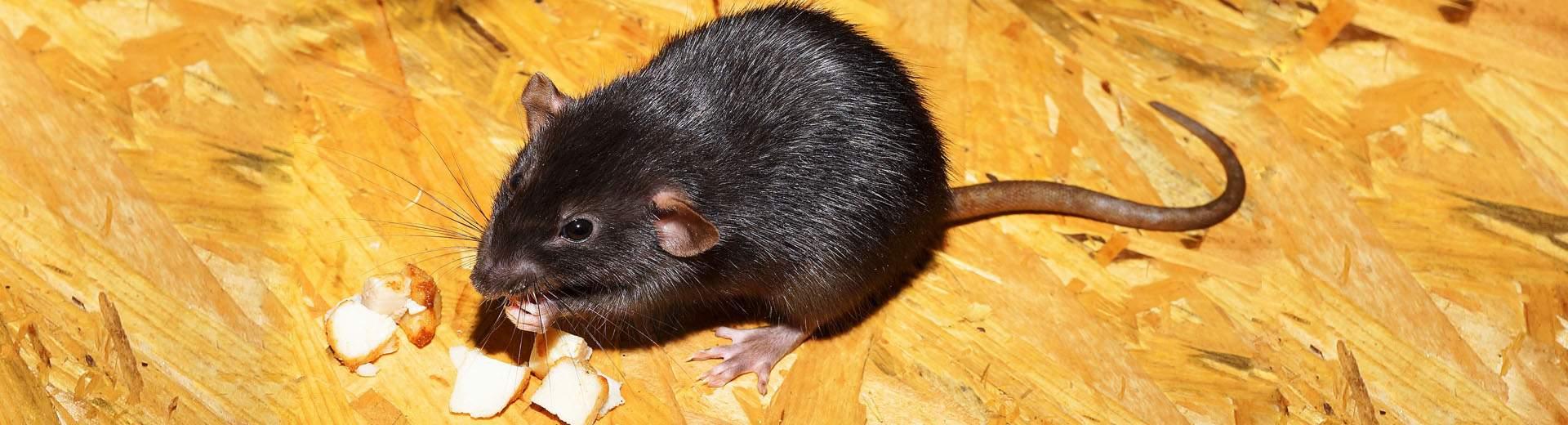 ratten fangen tipps tricks