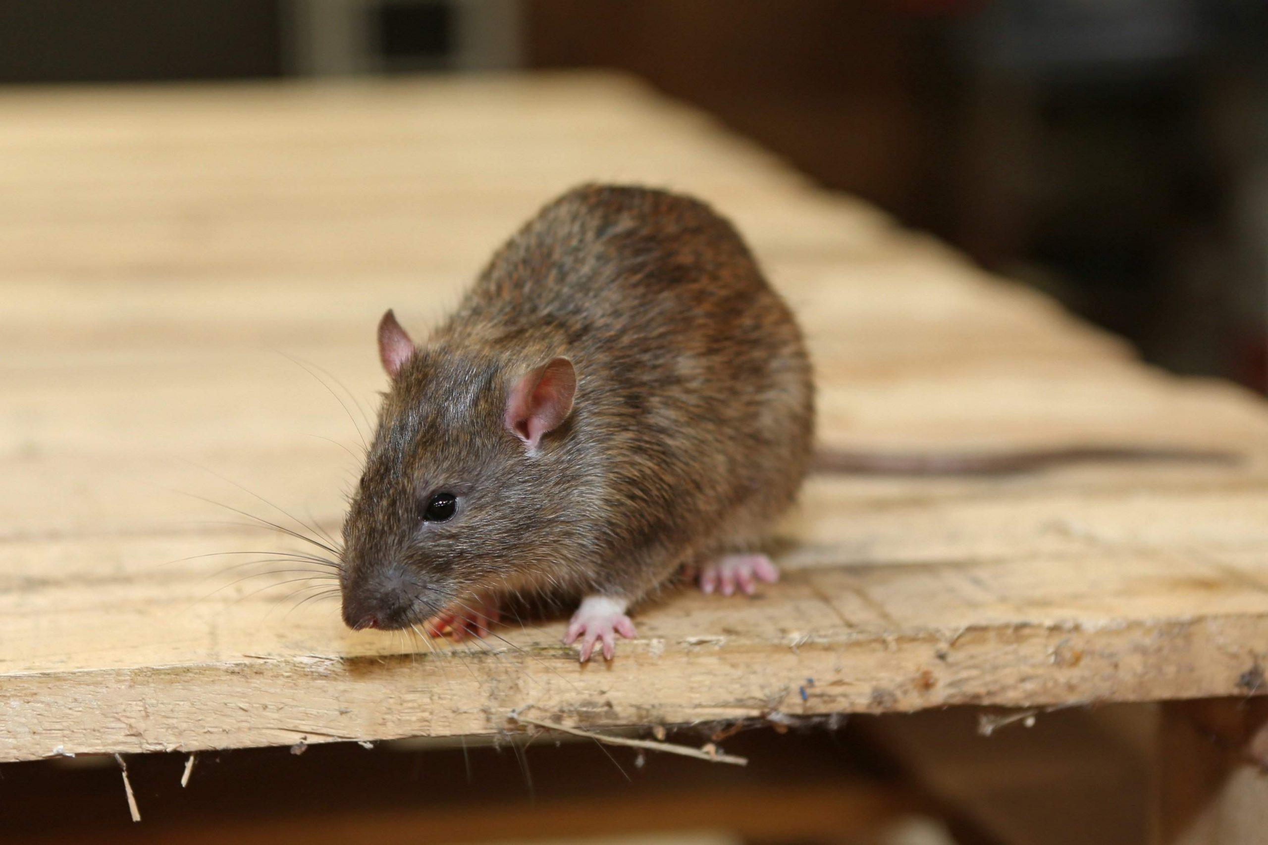 Ratten Im Garten Genial Ratten Im Garten Mit Sen Mitteln Werden Sie
