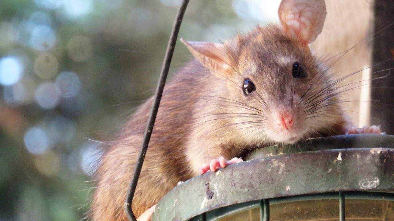 Ratten Im Garten Inspirierend Meldepflicht Bei Ratten Im Garten