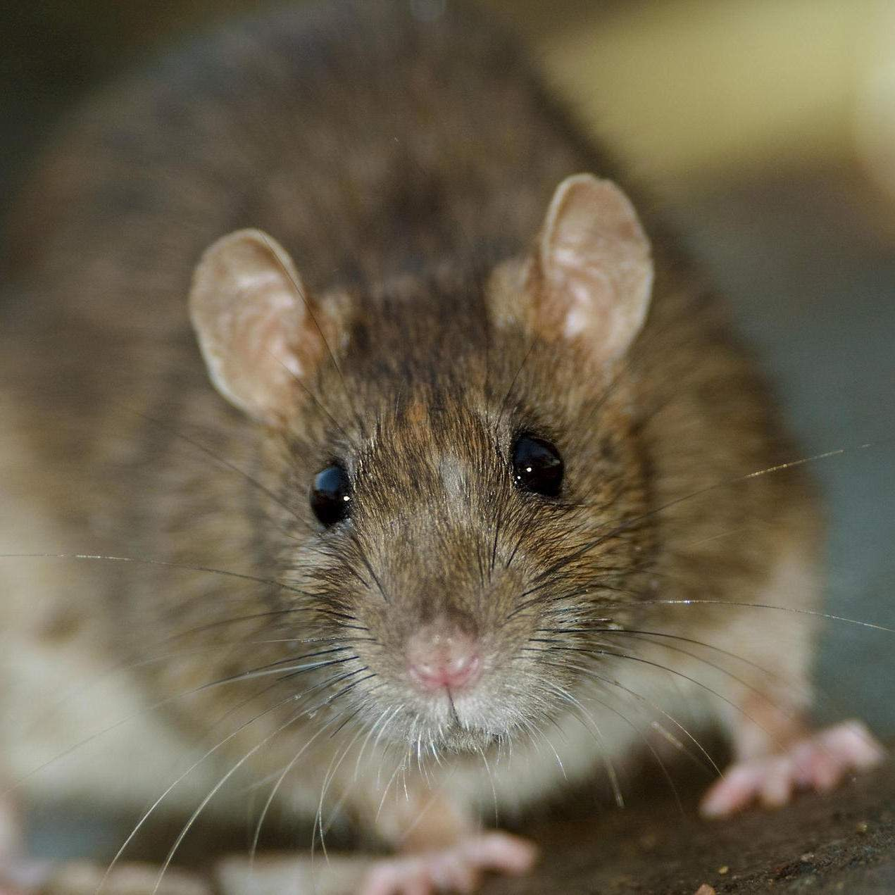 Ratten Im Garten Inspirierend Ratten Wie Sie Tiere Erfolgreich Aus Haus Und Garten