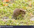 Ratten Im Garten Inspirierend Wild Baby Ratte Oder Maus Auf Rasen Im Garten Stockfoto
