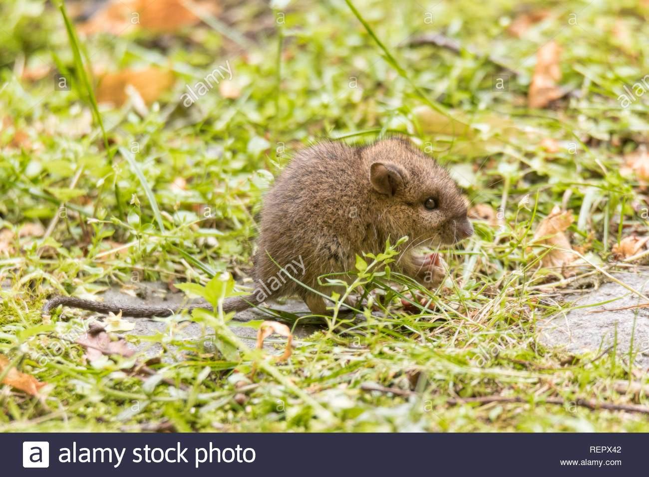 wild baby ratte oder maus auf rasen im garten repx42
