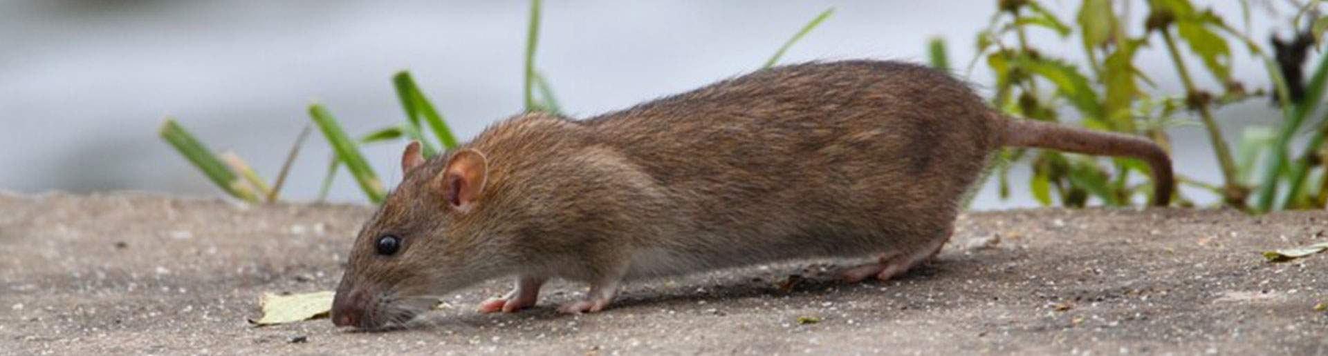 Ratten Im Garten Luxus Ratten Im Garten Kammerjäger Ratgeber
