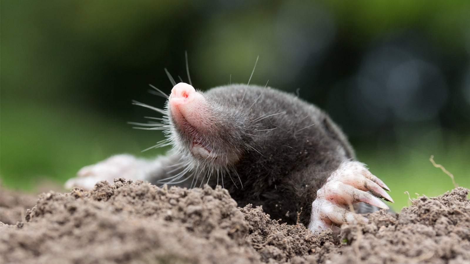 Ratten Im Garten Neu Bußgeld Droht Warum Ihr Maulwürfe Und Spitzmäuse Im Garten