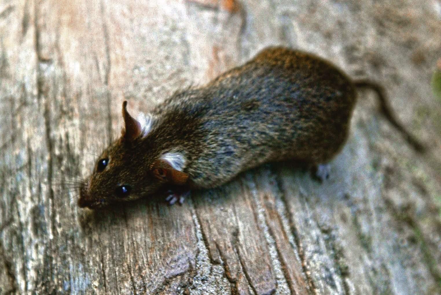 Ratten Im Garten Reizend Heidelberg Die Stadt Hat Kein Rattenproblem Nachrichten