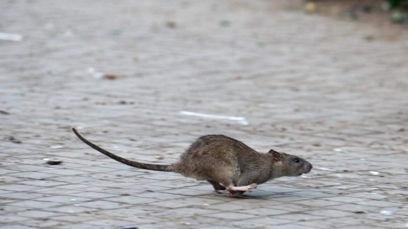 Ratten Im Garten Reizend Plage In Städten Jetzt Wandern Ratten Auch Tagsüber Welt