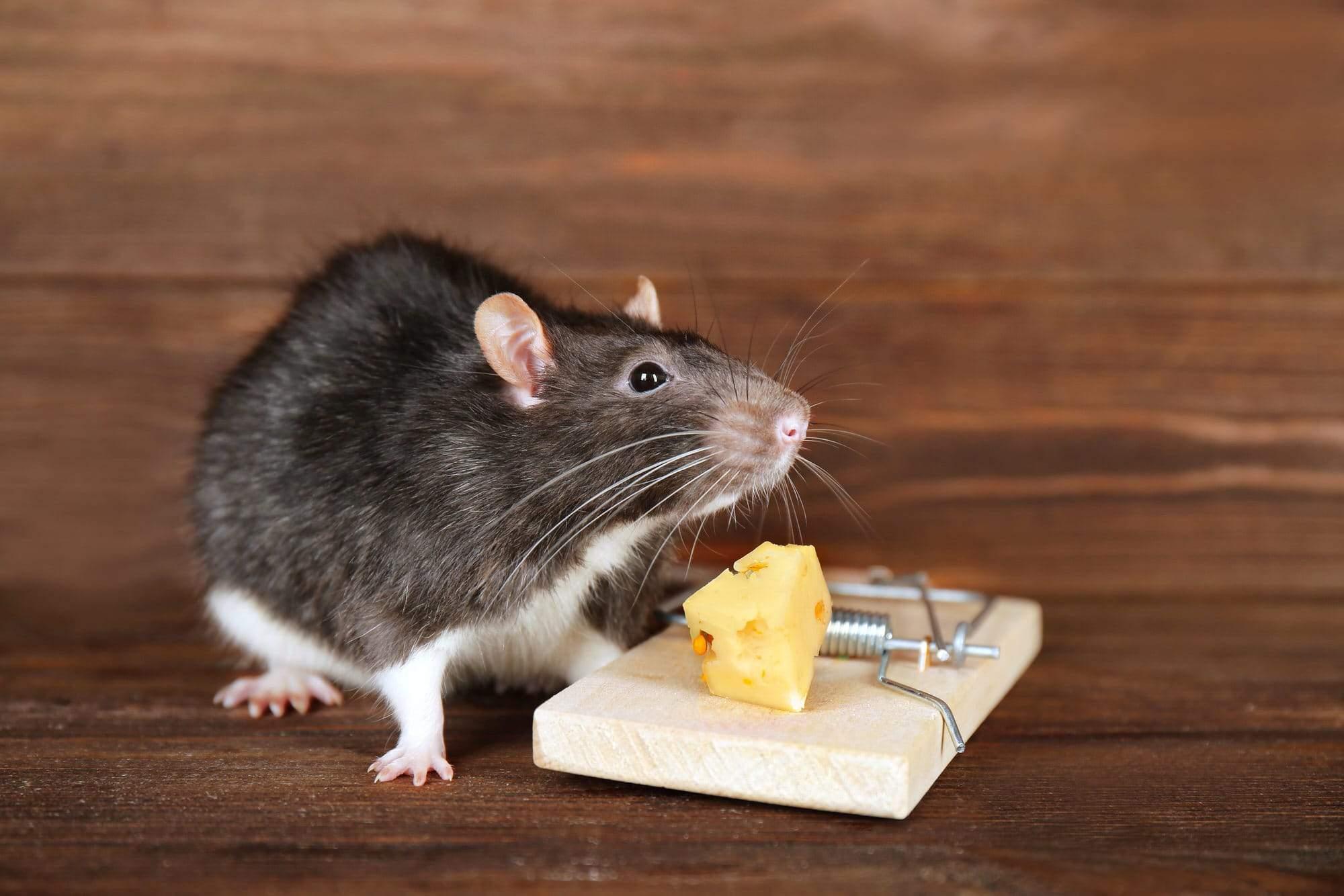 Ratten Im Garten Reizend Ratten Im Haus Wirksam Vertreiben Und Bekämpfen Heimhelden