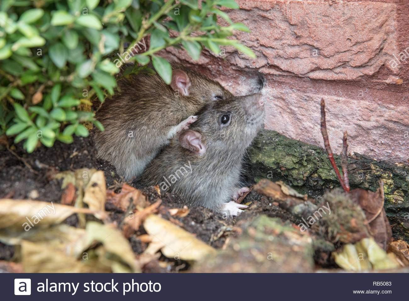 Ratten Im Garten Schön Die Niederlande Amsterdam Braune Ratten Rattus norvegicus