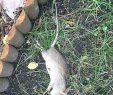 Ratten Im Garten Schön Ratte Oder Maus Im Garten Wir Lieben Von Ratten Im Garten