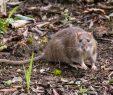 Ratten Im Garten Schön Ratten Im Garten Erkennen Und Effektiv Bekämpfen Haus