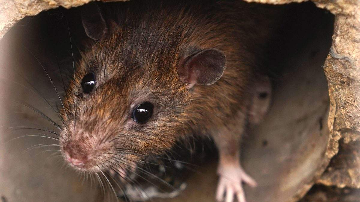 Ratten Im Garten Schön Ratten – Unsere Un Bekannten Mitbewohner L Blog