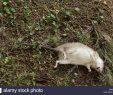 Ratten Im Garten Schön tote Ratte Im Garten Stockfoto Bild Alamy