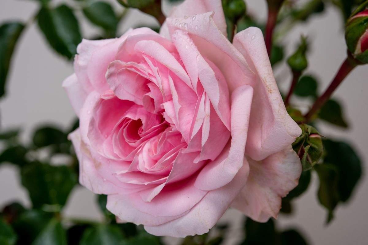 Schöner Garten Genial Rose Mein Schöner Garten