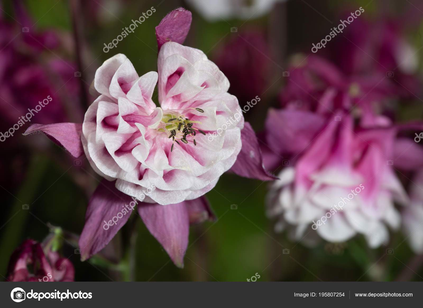 depositphotos stock photo purple aquilegia flower natural background