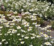 Garten Margerite Genial Chrysanthemum Maximum Gruppenstolz