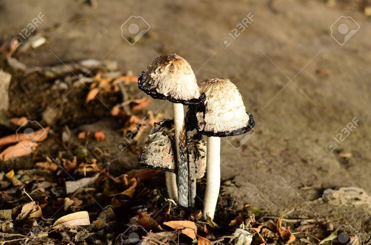 photo poisonous mushrooms growing under the trees in the garden