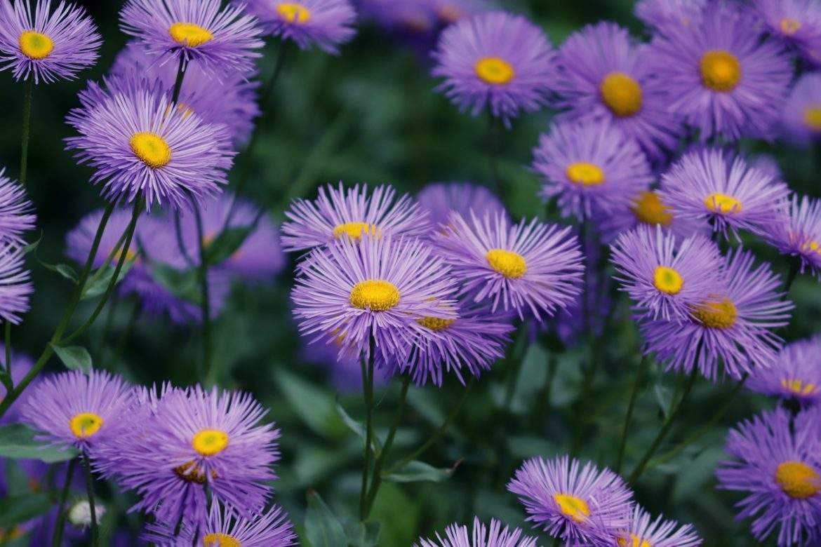 asters 1920 1170x780