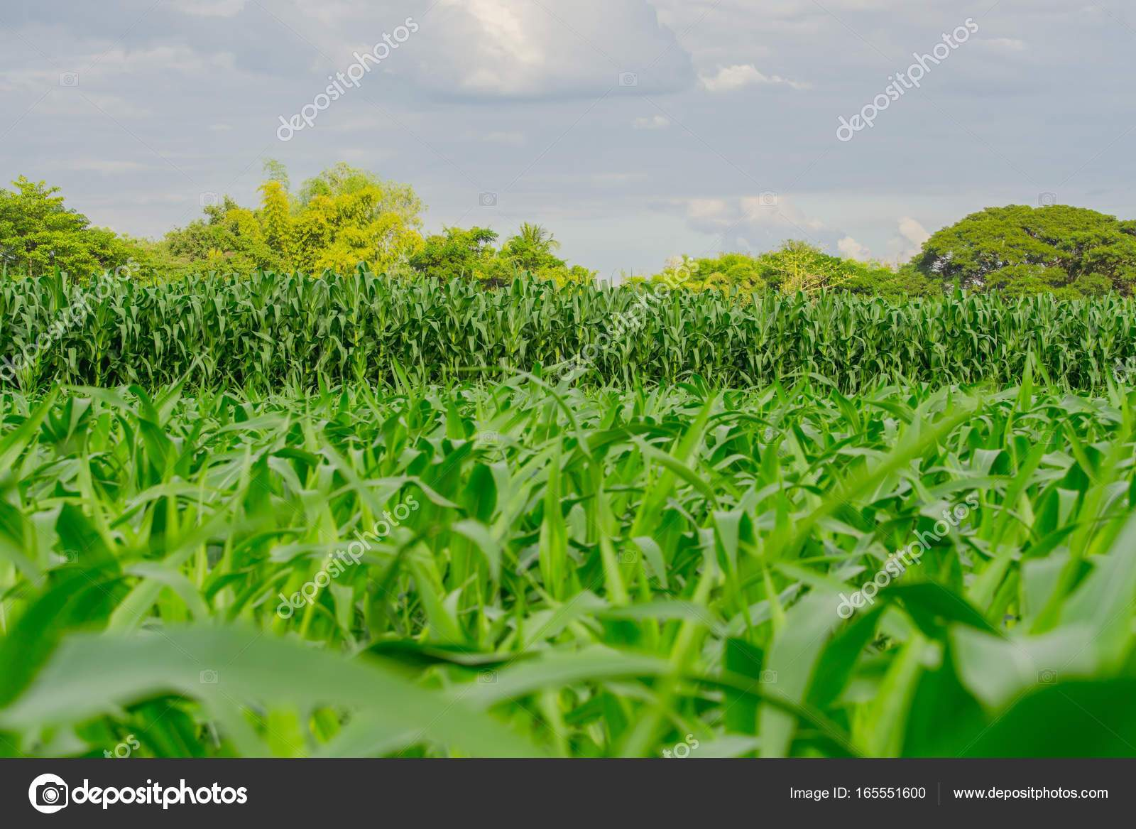 depositphotos stock photo green corn field in agricultural